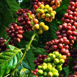 Hướng dẫn cách bón phân BioGro cho cây cà phê