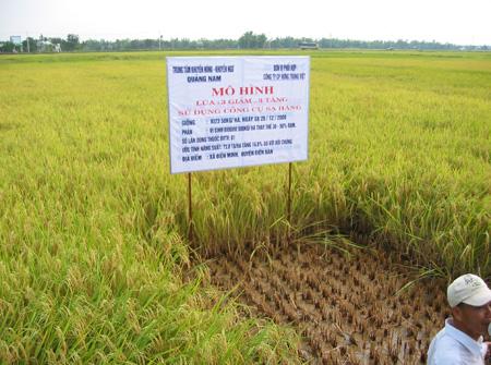 Ruộng thử nghiệm mô hình 3 giảm 3 tăng tại Quảng Nam