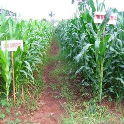 Ruộng ngô đối chứng bón phân vi sinh BioGro ở Tây Nguyên