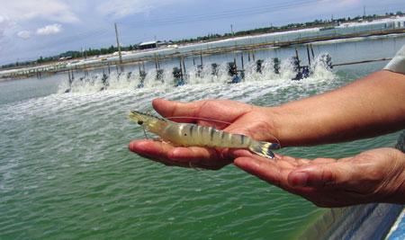 Hồ nuôi tôm bằng chế phẩm BioGro tại Nha Trang