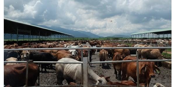 """Khám phá trang trại nuôi bò – """"nồi cơm"""" chính của HAGL"""